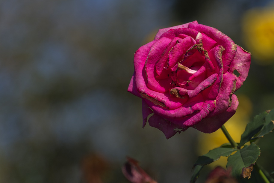 'Withering Rose' (Dec 2010) - Taichung, Taiwan