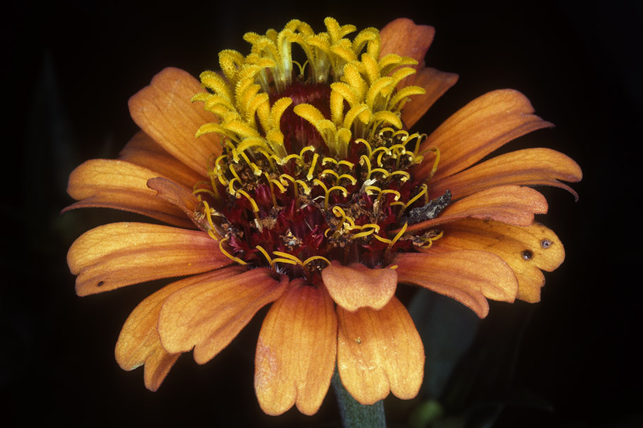 'Orange Zinnia' (Dec 1977) - Botanic Garden, Singapore