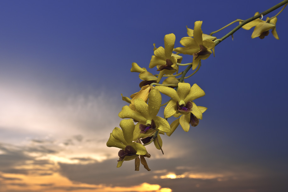 'Another Dangling Orchids' (May 2013) - Bukit Batok, Singapore