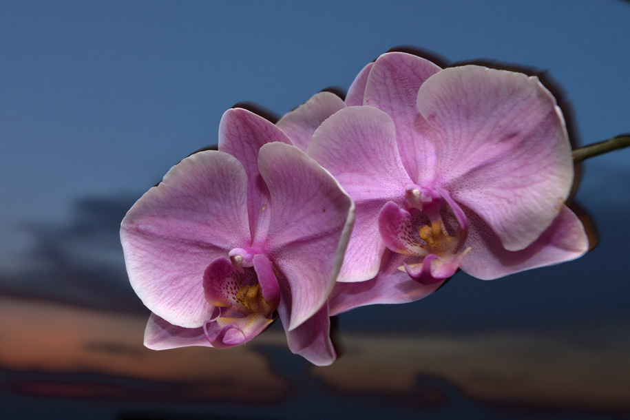 'Moth Orchid at Sunset' (Jun 2013) - Bukit Batok, Singapore